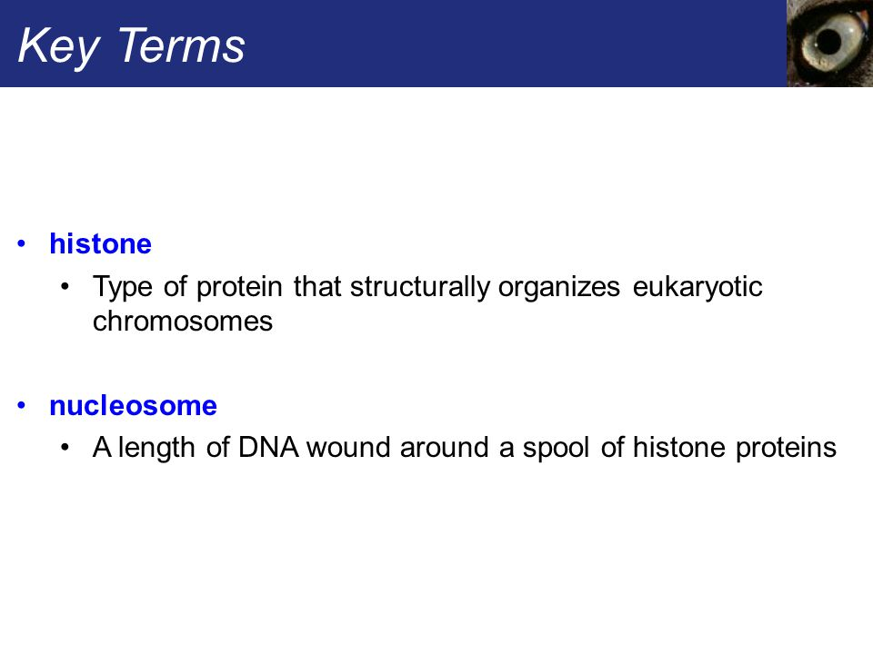 Key Terms histone Type of protein that structurally organizes eukaryotic chromosomes nucleosome A length of DNA wound around a spool of histone proteins