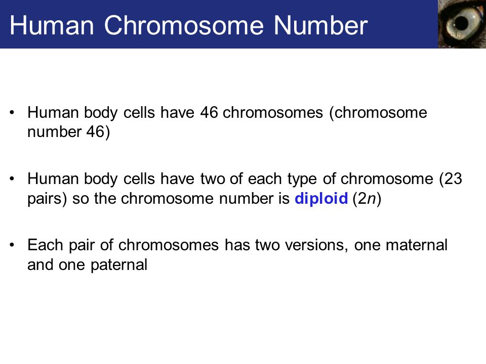 Human Chromosome Number Human body cells have 46 chromosomes (chromosome number 46) Human body cells have two of each type of chromosome (23 pairs) so the chromosome number is diploid (2n) Each pair of chromosomes has two versions, one maternal and one paternal