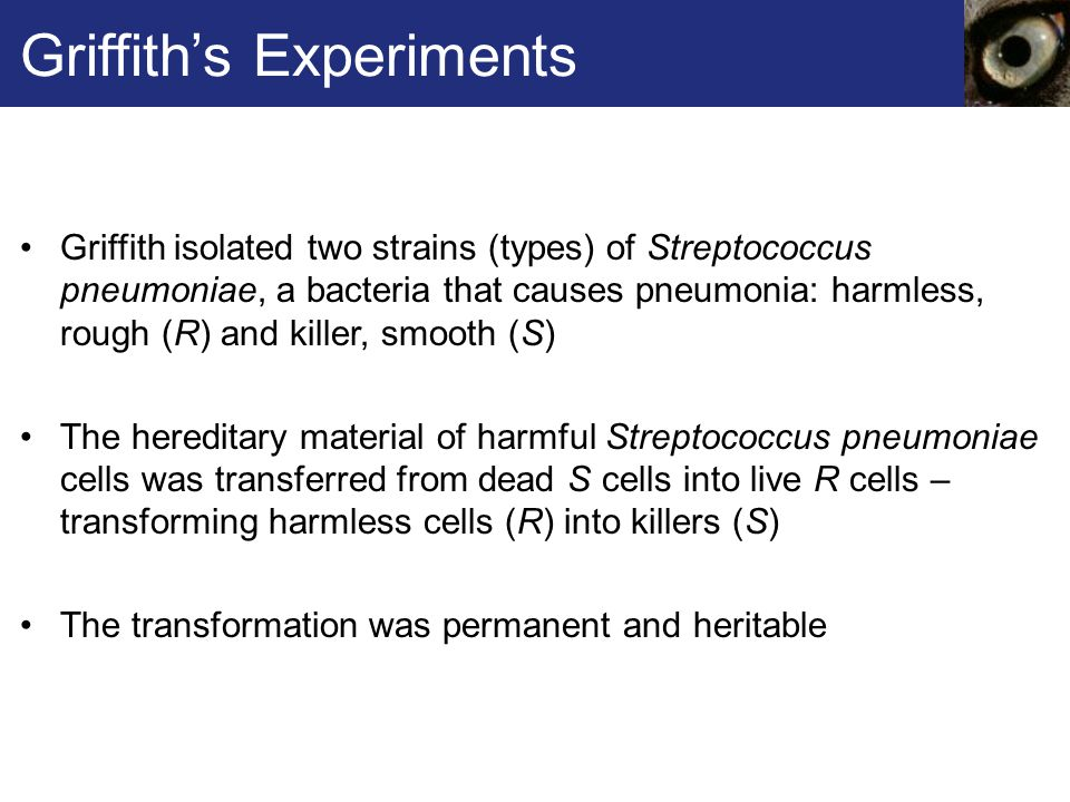 Griffith's Experiments Griffith isolated two strains (types) of Streptococcus pneumoniae, a bacteria that causes pneumonia: harmless, rough (R) and killer, smooth (S) The hereditary material of harmful Streptococcus pneumoniae cells was transferred from dead S cells into live R cells – transforming harmless cells (R) into killers (S) The transformation was permanent and heritable
