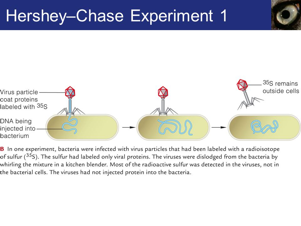 Hershey–Chase Experiment 1