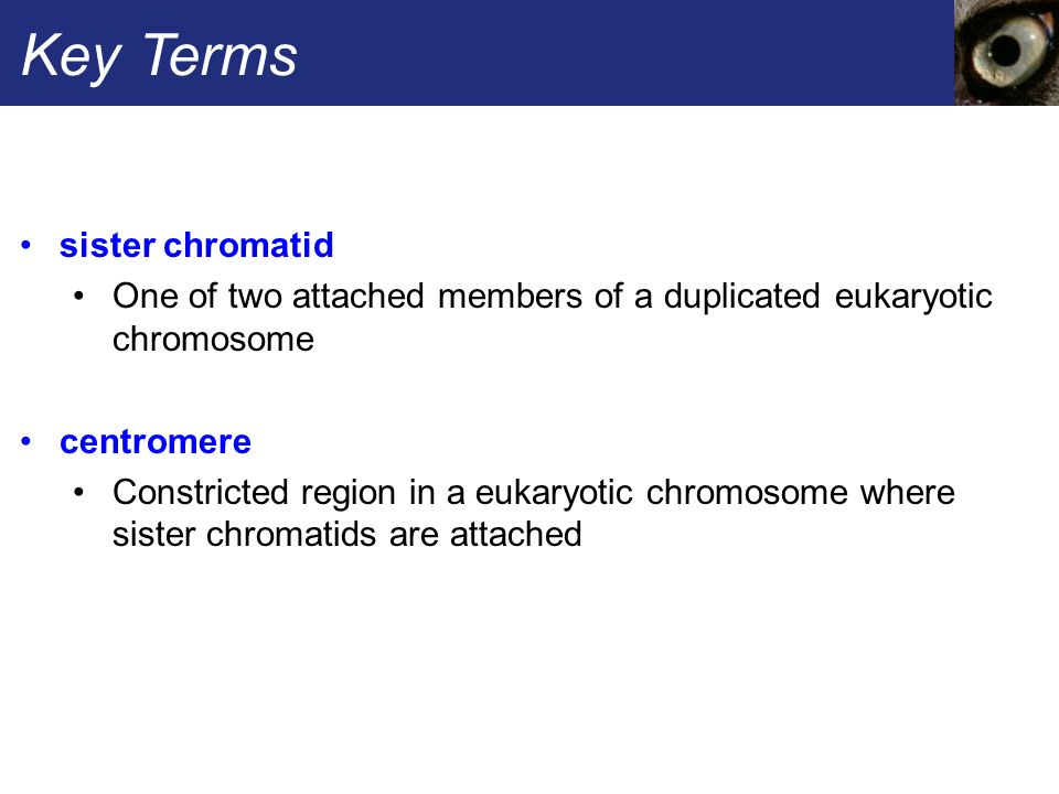 Key Terms sister chromatid One of two attached members of a duplicated eukaryotic chromosome centromere Constricted region in a eukaryotic chromosome where sister chromatids are attached