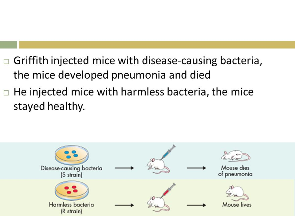  Griffith injected mice with disease-causing bacteria, the mice developed pneumonia and died  He injected mice with harmless bacteria, the mice stay