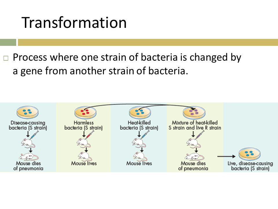 Transformation  Process where one strain of bacteria is changed by a gene from another strain of bacteria.