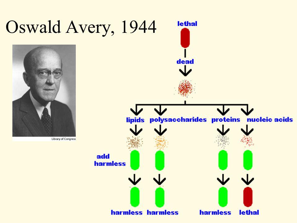 Oswald Avery, 1944