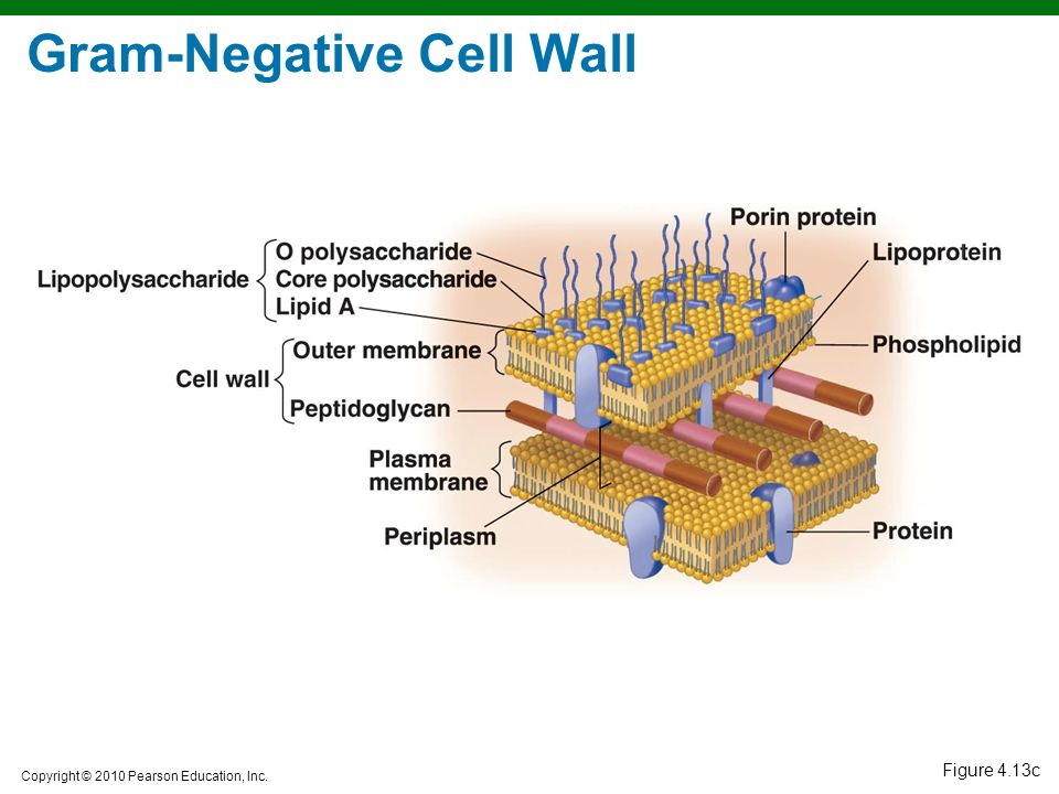 Copyright © 2010 Pearson Education, Inc. Figure 4.13c Gram-Negative Cell Wall
