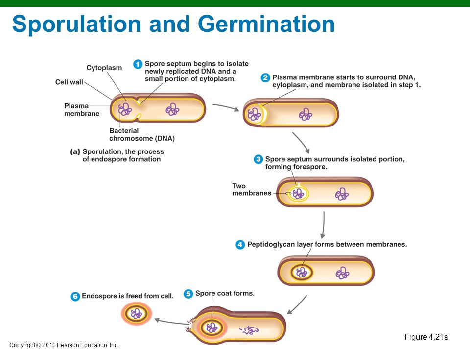 Copyright © 2010 Pearson Education, Inc. Sporulation and Germination Figure 4.21a