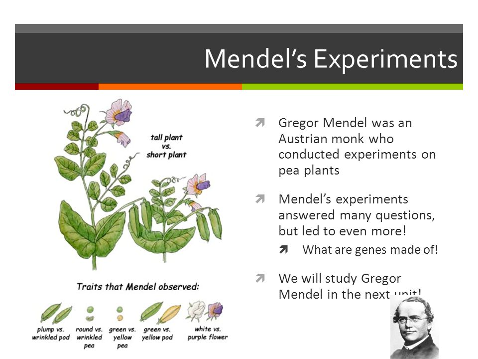 Mendel's Experiments  Gregor Mendel was an Austrian monk who conducted experiments on pea plants  Mendel's experiments answered many questions, but