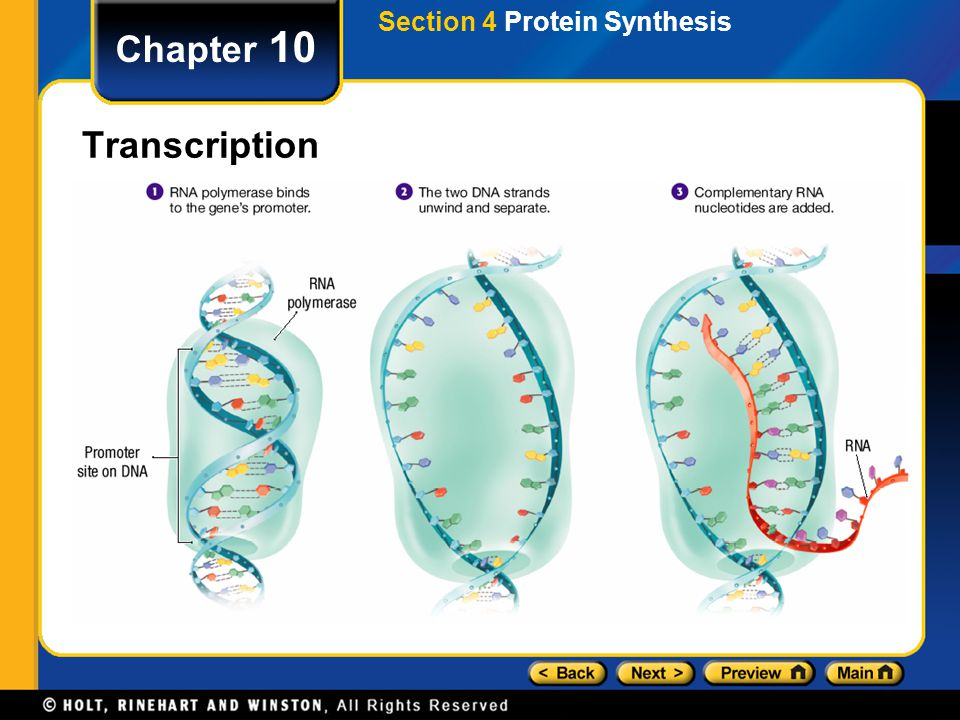 Chapter 10 Transcription During transcription, DNA acts as a template for directing the synthesis of RNA.