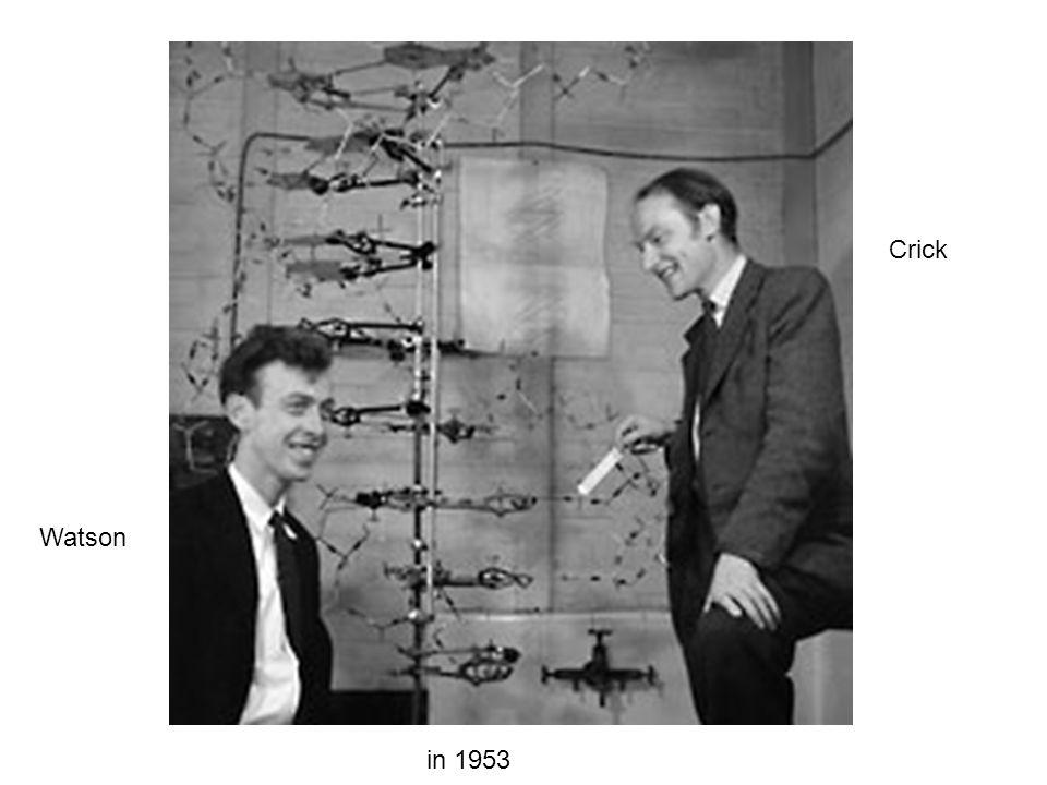 Watson Crick in 1953