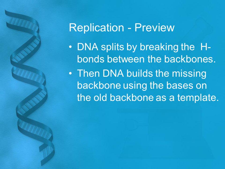 Replication - Preview DNA splits by breaking the H- bonds between the backbones.