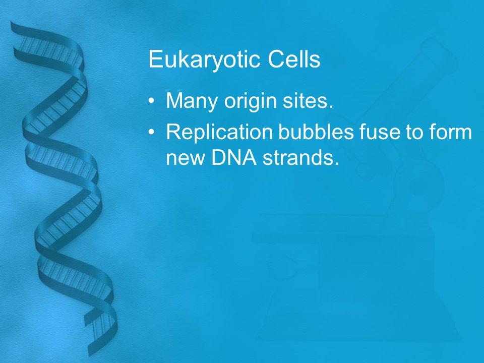 Eukaryotic Cells Many origin sites. Replication bubbles fuse to form new DNA strands.