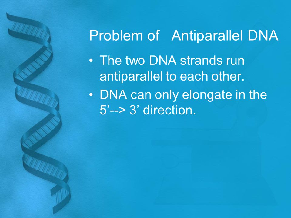 Problem of Antiparallel DNA The two DNA strands run antiparallel to each other.