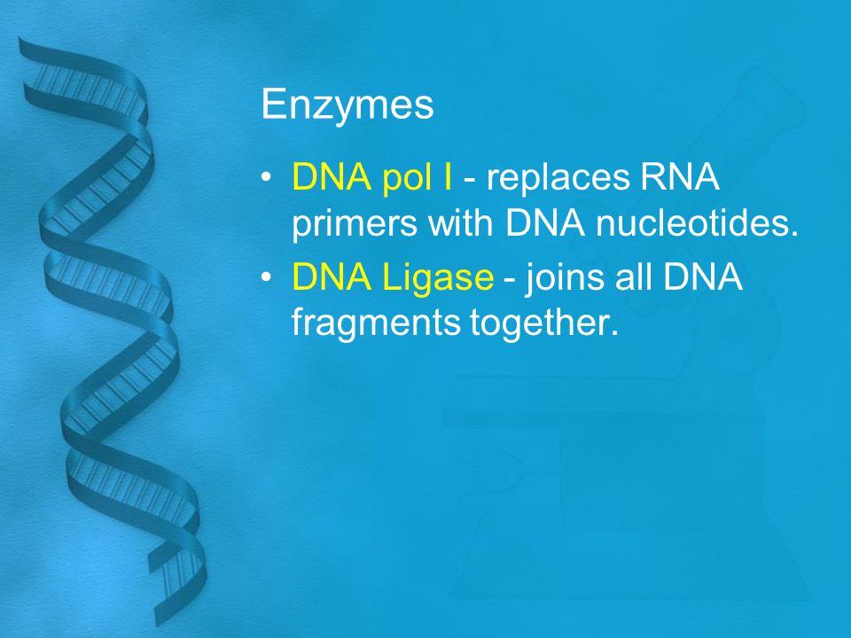 Enzymes DNA pol I - replaces RNA primers with DNA nucleotides. DNA Ligase - joins all DNA fragments together.