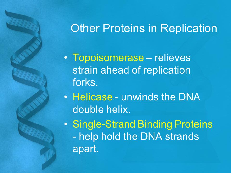 Other Proteins in Replication Topoisomerase – relieves strain ahead of replication forks. Helicase - unwinds the DNA double helix. Single-Strand Bindi