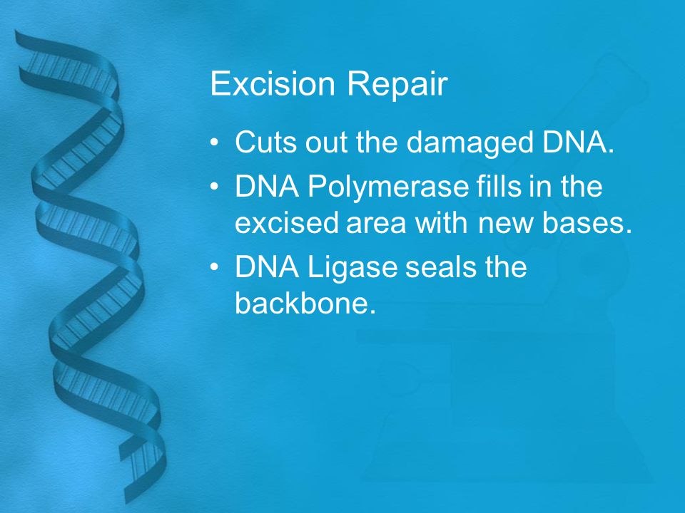 Excision Repair Cuts out the damaged DNA. DNA Polymerase fills in the excised area with new bases. DNA Ligase seals the backbone.