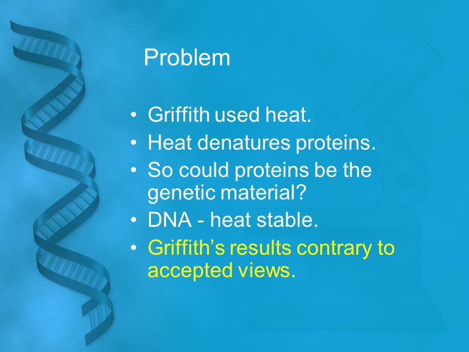 Problem Griffith used heat. Heat denatures proteins. So could proteins be the genetic material? DNA - heat stable. Griffith's results contrary to acce