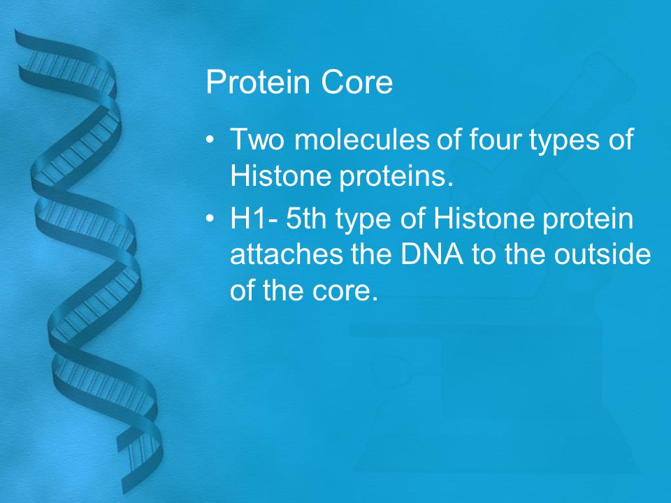 Protein Core Two molecules of four types of Histone proteins. H1- 5th type of Histone protein attaches the DNA to the outside of the core.