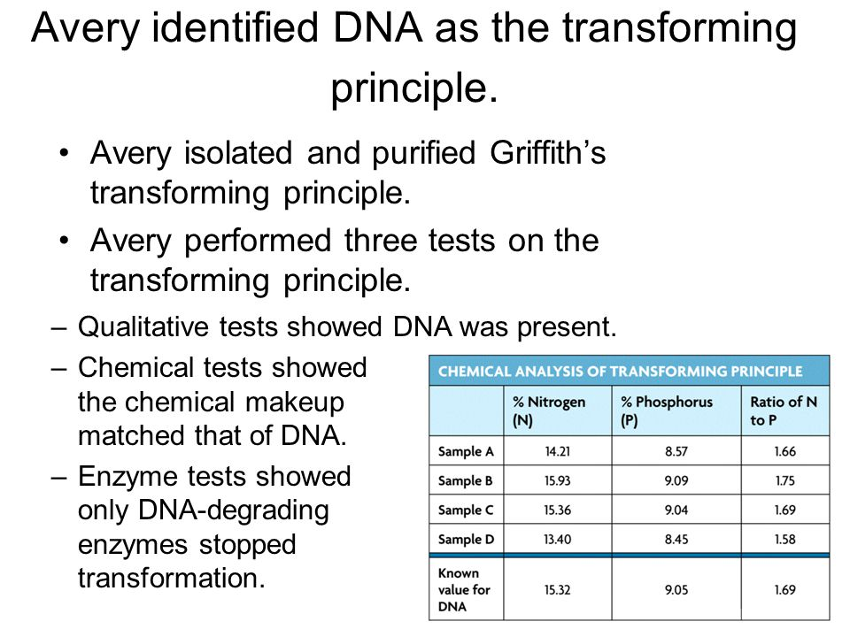 Avery identified DNA as the transforming principle. Avery isolated and purified Griffith's transforming principle. Avery performed three tests on the