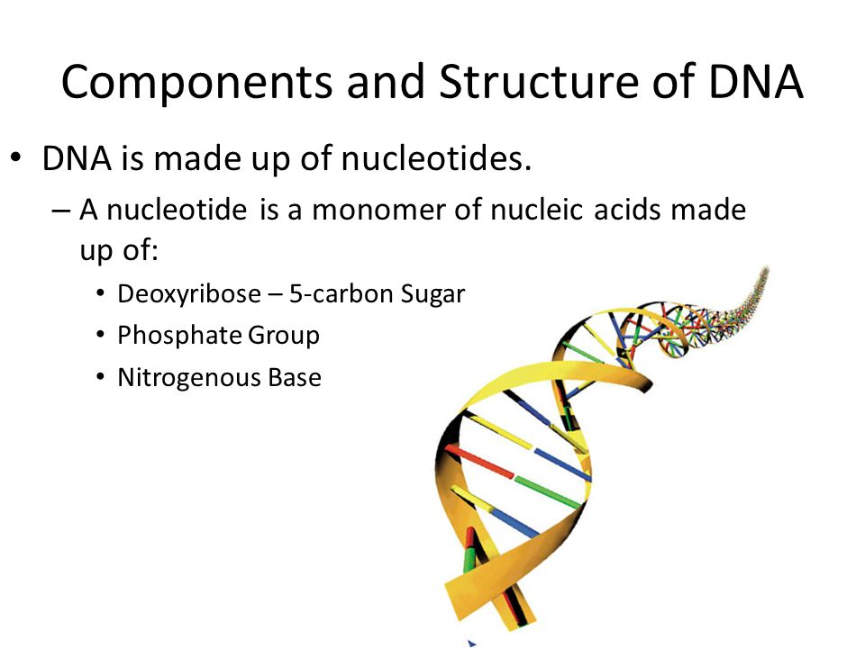 Components and Structure of DNA DNA is made up of nucleotides.