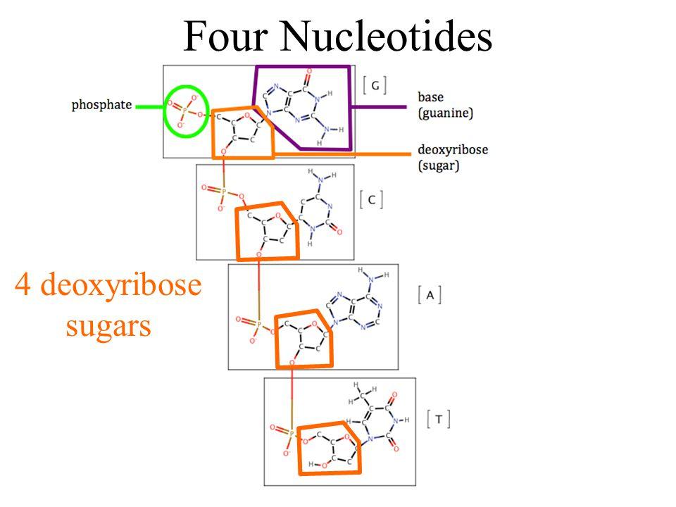 Four Nucleotides 4 deoxyribose sugars