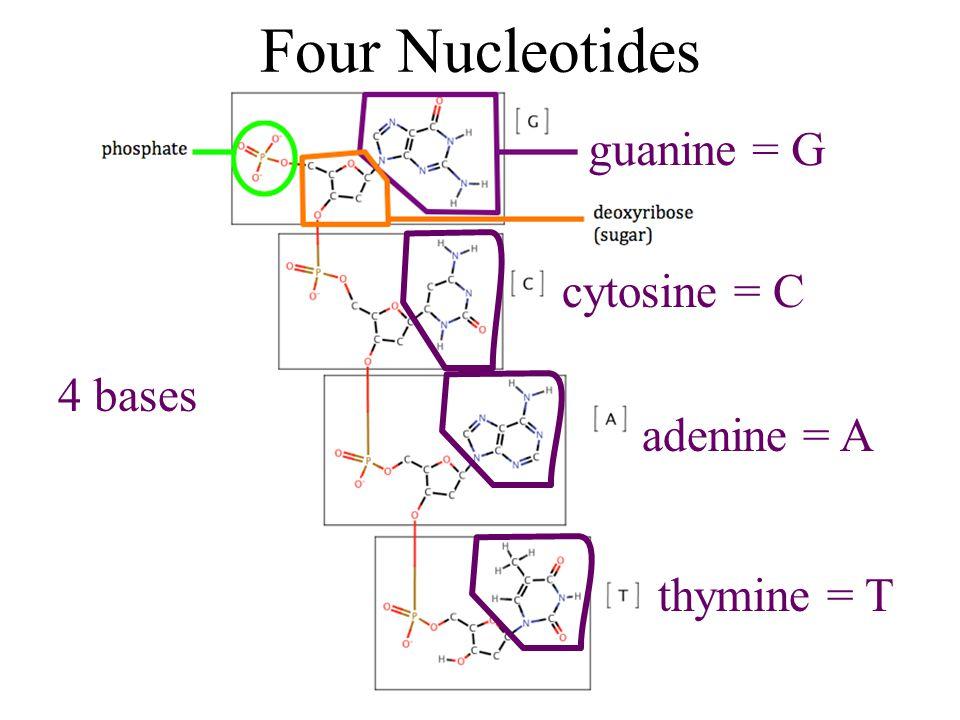 Four Nucleotides 4 bases guanine = G cytosine = C adenine = A thymine = T
