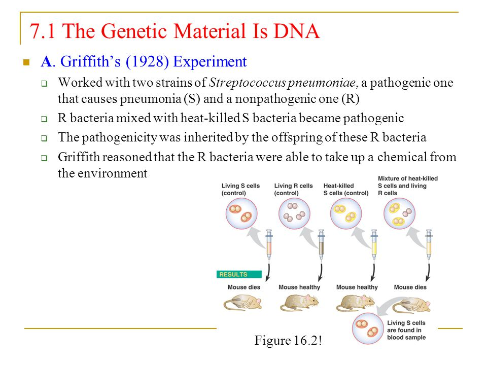 7.1 The Genetic Material Is DNA A. Griffith's (1928) Experiment  Worked with two strains of Streptococcus pneumoniae, a pathogenic one that causes pn