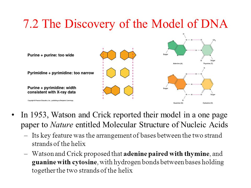 7.2 The Discovery of the Model of DNA In 1953, Watson and Crick reported their model in a one page paper to Nature entitled Molecular Structure of Nuc