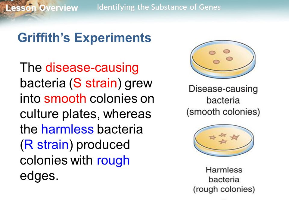 Lesson Overview Lesson Overview Identifying the Substance of Genes Griffith's Experiments Griffith injected mice with the bacteria.