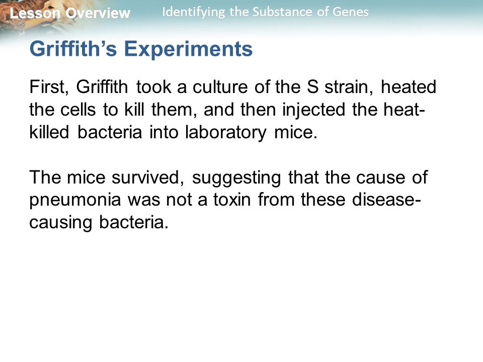 Lesson Overview Lesson Overview Identifying the Substance of Genes Griffith's Experiments First, Griffith took a culture of the S strain, heated the c