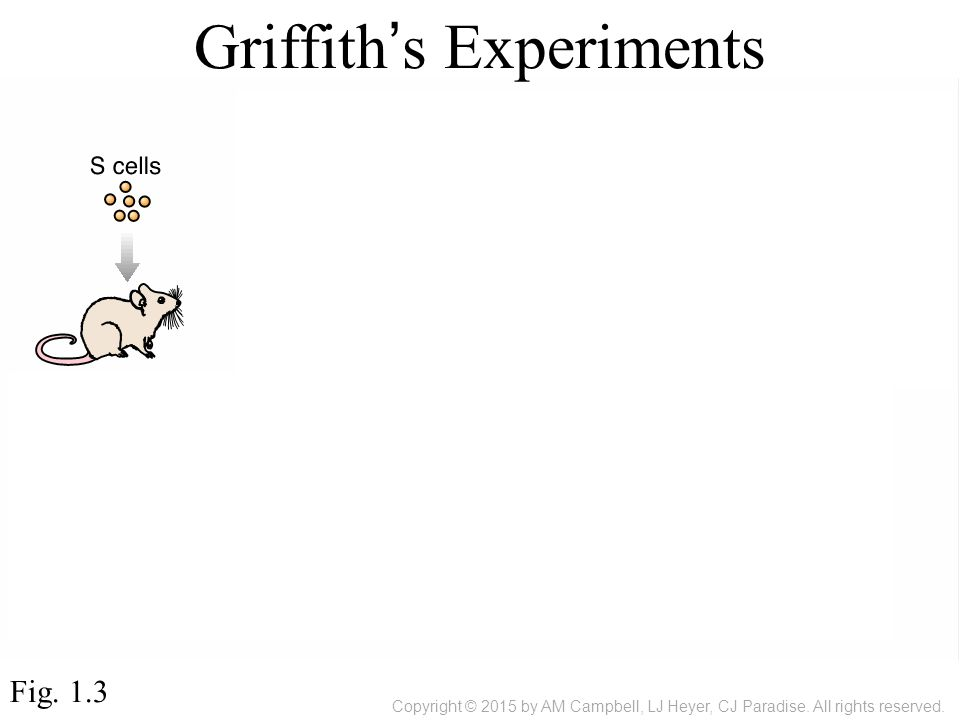 Griffith's Experiments Fig. 1.3 Copyright © 2015 by AM Campbell, LJ Heyer, CJ Paradise.