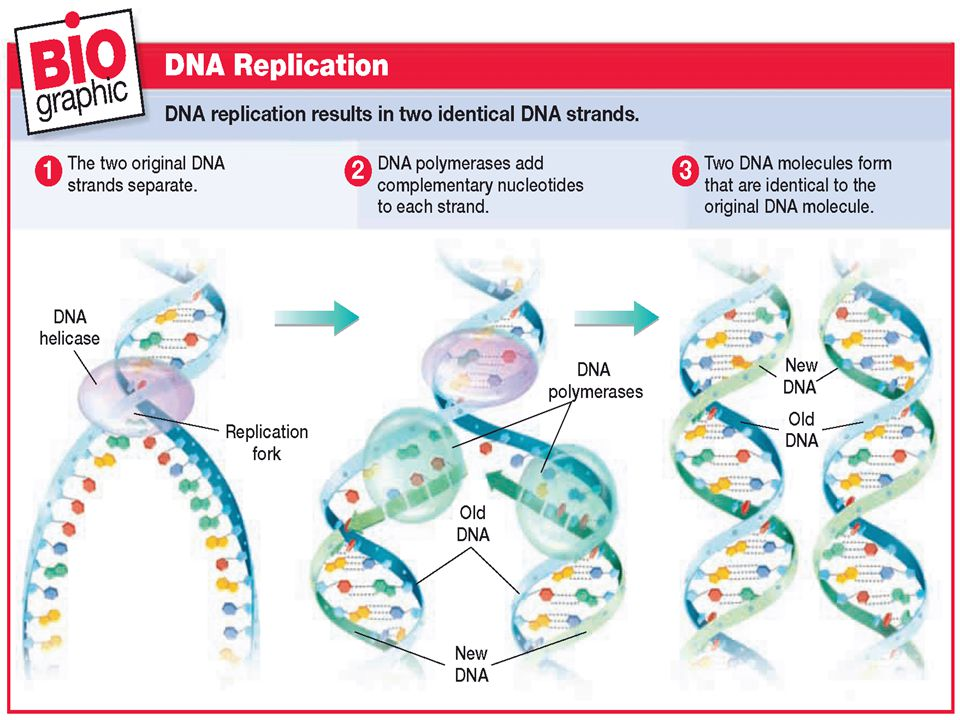 Step 2 - At the replication fork, enzymes known as DNA polymerases move along each of the DNA strands. DNA polymerases add nucleotides to the exposed