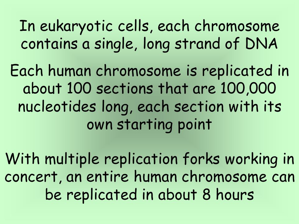 The Rate of Replication Replication does not begin at one end of the DNA molecule and end at the other The circular DNA molecules found in prokaryotes