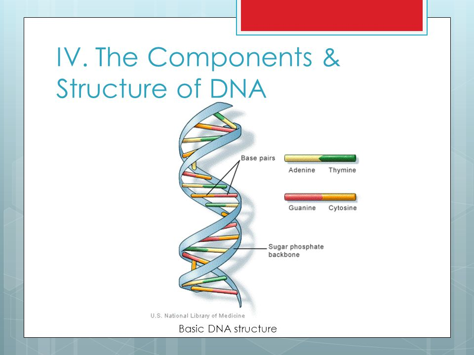 IV. The Components & Structure of DNA Basic DNA structure
