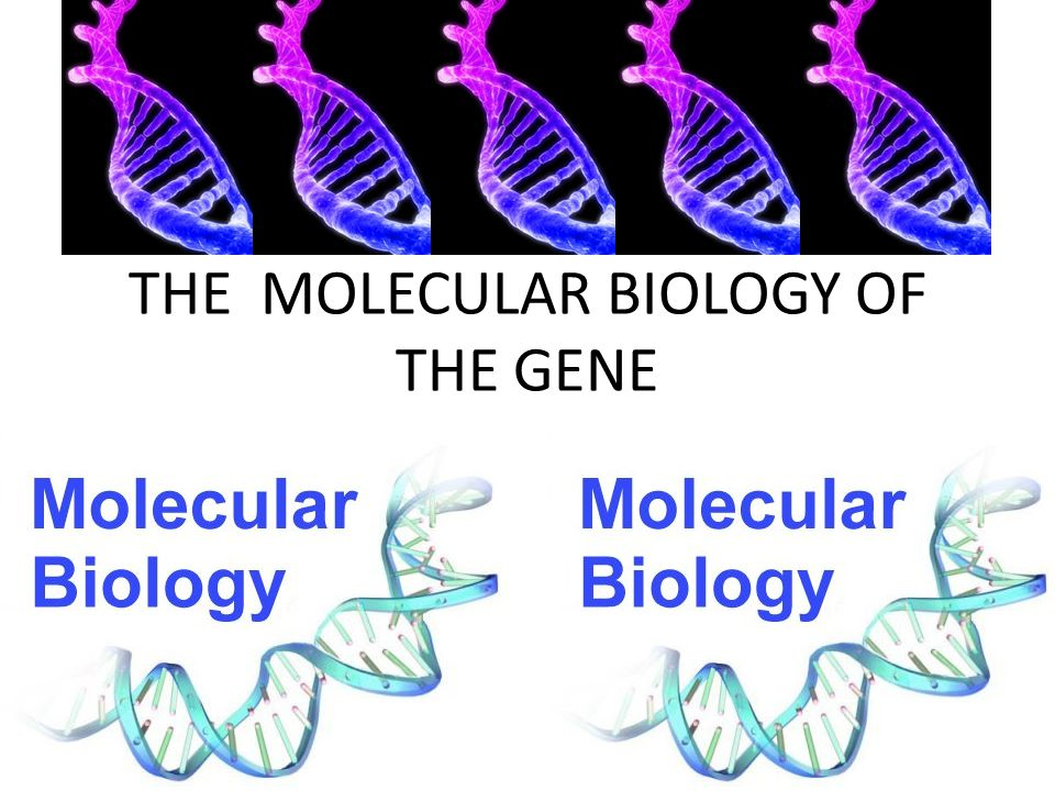THE MOLECULAR BIOLOGY OF THE GENE WATSON AND CRICK EXPLAINED THE DOUBLE HELIX – USING DATA FROM ERWIN CHARGAFF (EXPERIMENT THAT SHOWED # OF A'S AND T'S WAS ALWAYS EQUAL, AND # OF C'S AND G'S WAS ALWAYS EQUAL) – AS WELL AS DATA THAT SHOWED DNA STRANDS WERE ALWAYS THE SAME DISTANCE APART