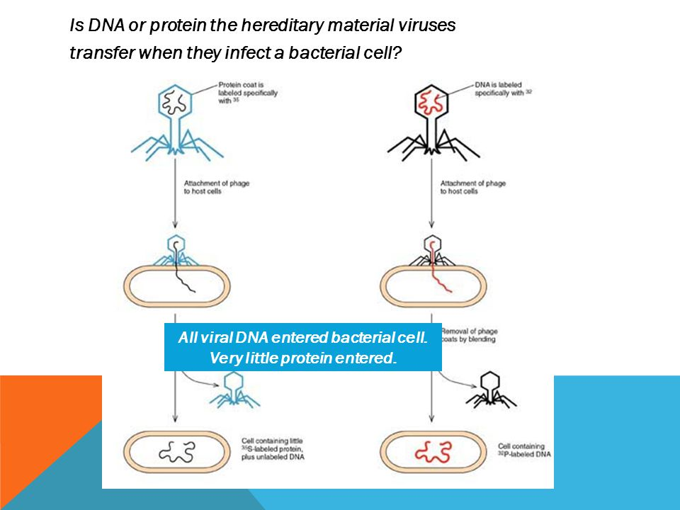 Is DNA or protein the hereditary material viruses transfer when they infect a bacterial cell.