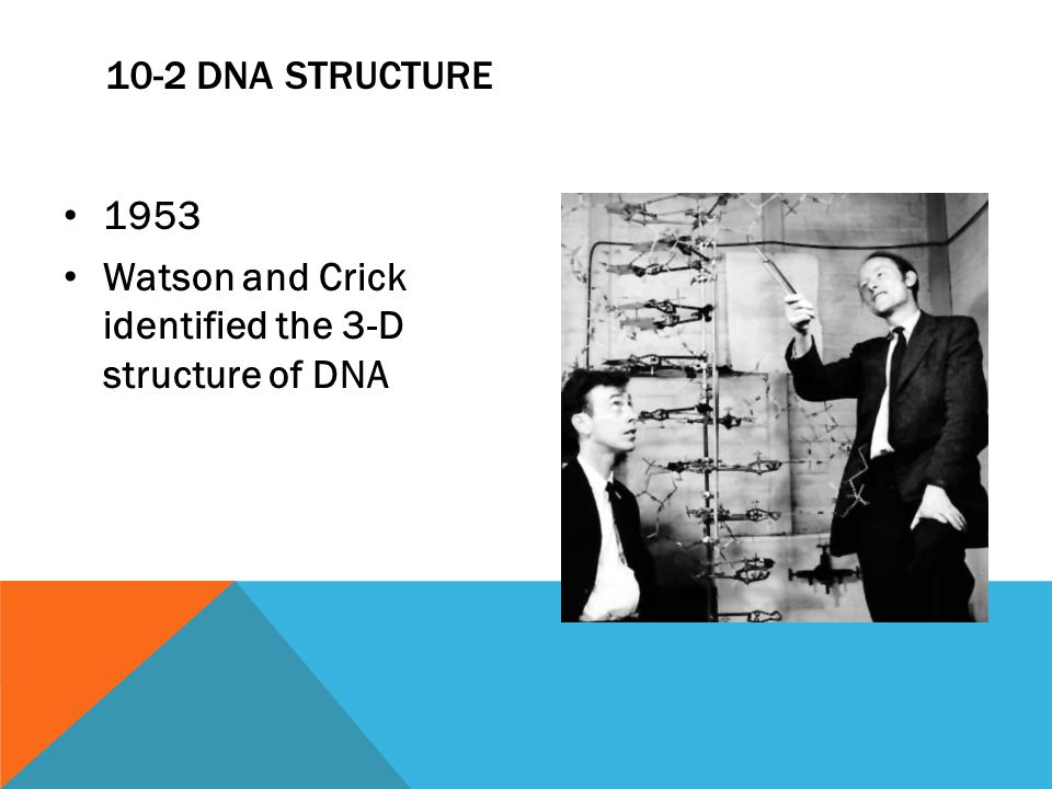 10-2 DNA STRUCTURE 1953 Watson and Crick identified the 3-D structure of DNA
