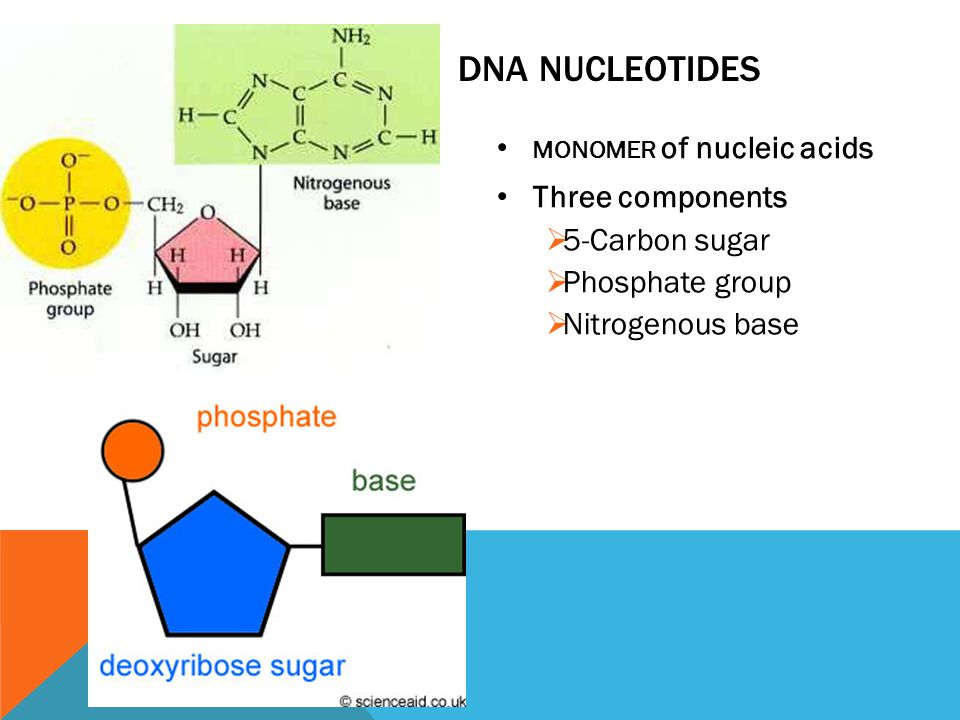 DNA NUCLEOTIDES MONOMER of nucleic acids Three components  5-Carbon sugar  Phosphate group  Nitrogenous base