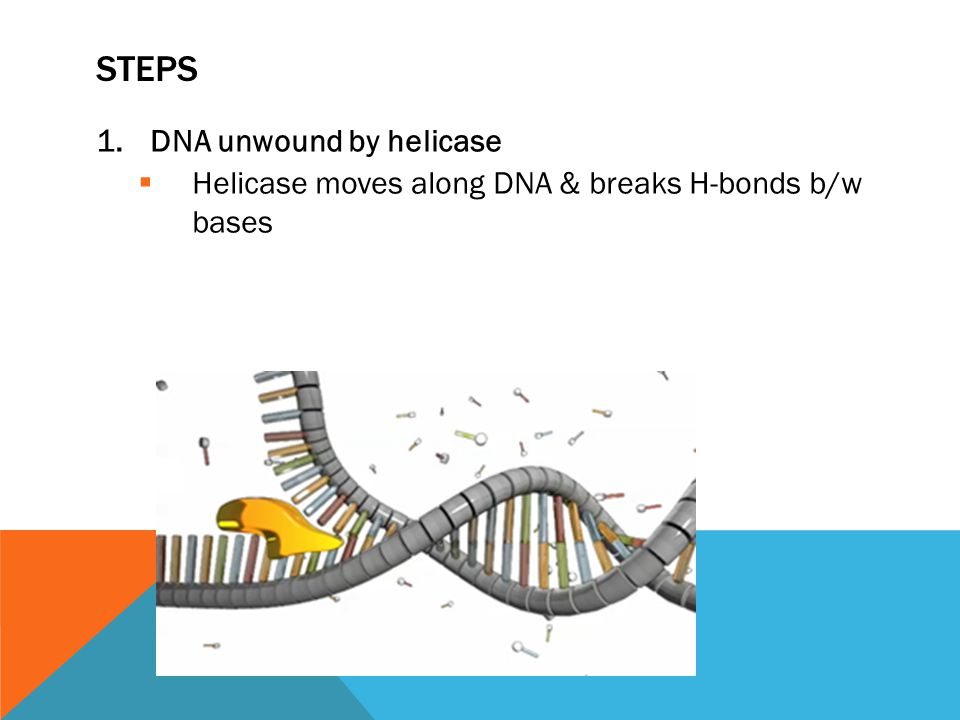 STEPS 1.DNA unwound by helicase  Helicase moves along DNA & breaks H-bonds b/w bases