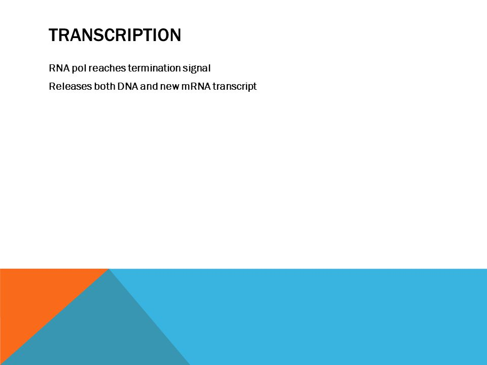 TRANSCRIPTION RNA pol reaches termination signal Releases both DNA and new mRNA transcript