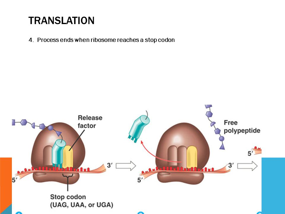 TRANSLATION 4. Process ends when ribosome reaches a stop codon