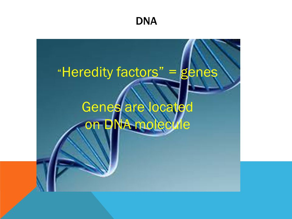 DNA Heredity factors = genes Genes are located on DNA molecule