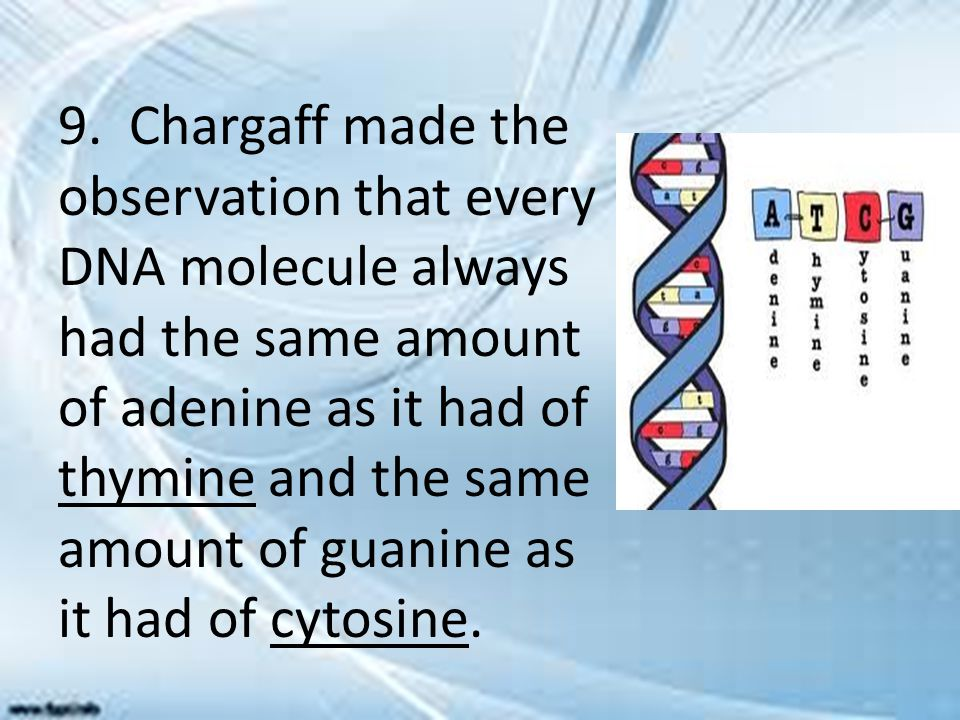 9. Chargaff made the observation that every DNA molecule always had the same amount of adenine as it had of thymine and the same amount of guanine as