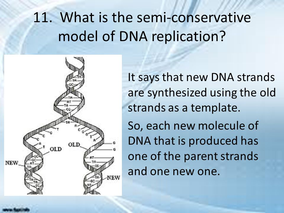 11. What is the semi-conservative model of DNA replication? It says that new DNA strands are synthesized using the old strands as a template. So, each