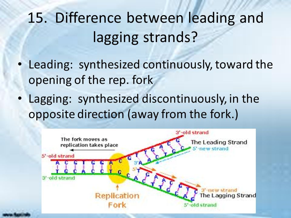 15. Difference between leading and lagging strands? Leading: synthesized continuously, toward the opening of the rep. fork Lagging: synthesized discon