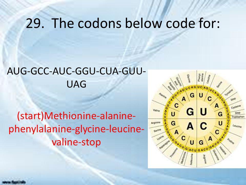 29. The codons below code for: AUG-GCC-AUC-GGU-CUA-GUU- UAG (start)Methionine-alanine- phenylalanine-glycine-leucine- valine-stop