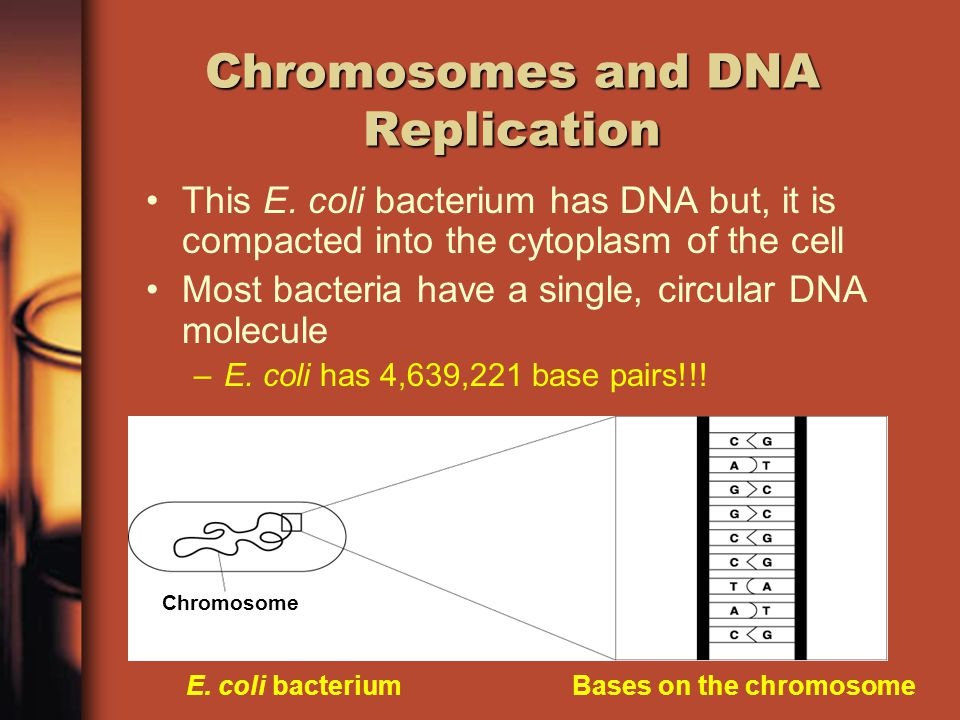 Chromosomes and DNA Replication DNA is the genetic material for the cell and the organism It is found in the nucleus of Eukaryotic cells –If Prokaryote cells don't have a nucleus, then where is the DNA stored