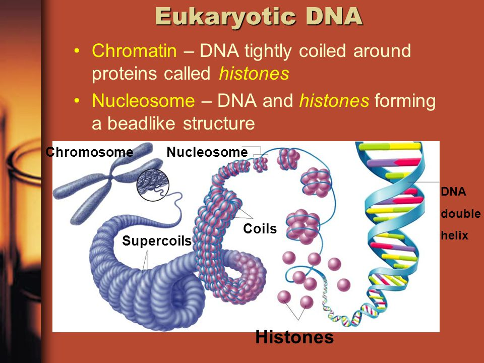Eukaryotic DNA How does the nucleus of a cell contain more than 1 meter of DNA.