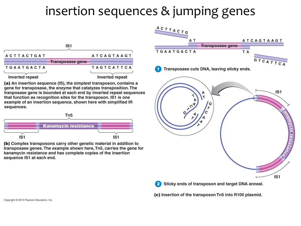 insertion sequences & jumping genes