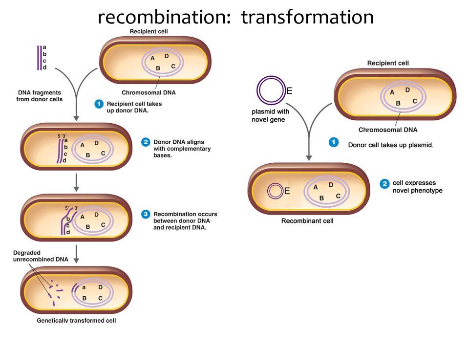 recombination: transformation