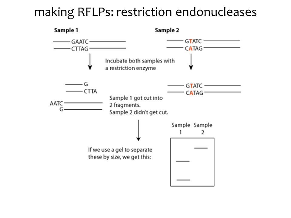 making RFLPs: restriction endonucleases